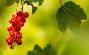 Picture red, in the summer, red currant, the evening light