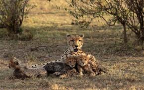 Picture Kenia, The Maasai Mara, Cheetah with cubs
