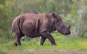 Picture nature, baby, walk, Rhino, cub