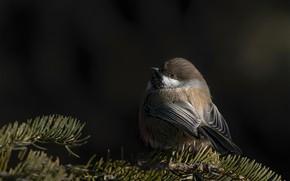 Picture branches, the dark background, bird, needles, tit, forest atricapillus