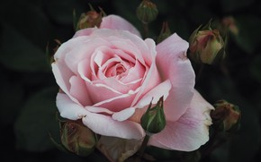 Picture flower, the dark background, pink, rose, Bud
