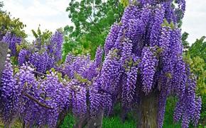 Picture purple, Wisteria, Wisteria
