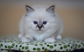 Picture cat, look, pose, kitty, baby, muzzle, stand, ragdoll