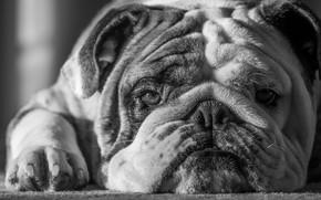 Picture each, dog, bulldog, dog, friend, bulldog, Mike Melnotte