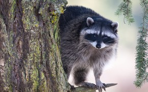 Picture branches, tree, raccoon