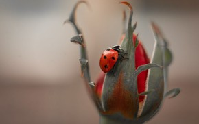 Picture flower, macro, nature, rose, ladybug, beetle, Bud, insect
