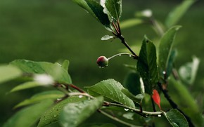 Picture green background, cherry sprig, berry, drops