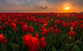 Picture field, sunset, flowers, tulips, Netherlands, buds, plantation