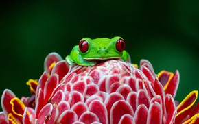 Picture flower, look, macro, red, the dark background, frog, petals, green, red-eyed tree frog