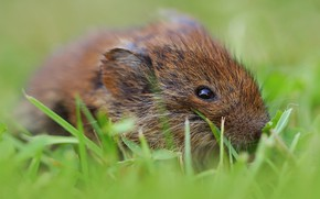 Picture grass, look, mouse, mouse, bokeh, rodent, field, vole