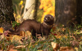 Picture autumn, forest, grass, look, leaves, trees, nature, pose, Park, collar, walk, face, bokeh, ferret, home, …