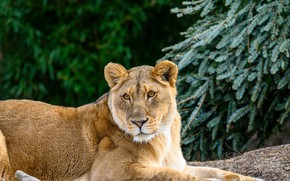 Picture branches, the dark background, lies, lioness, needles