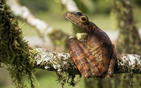 Picture look, macro, light, pose, background, tree, back, moss, frog, legs, branch, sitting, bokeh, dendrobates