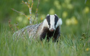 Picture grass, look, face, glade, portrait, badger