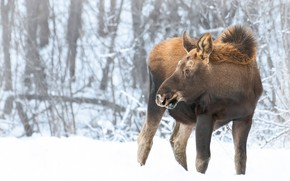 Picture winter, forest, look, snow, branches, nature, cub, moose, young, calf