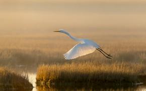 Picture light, lake, bird, swamp, white egret