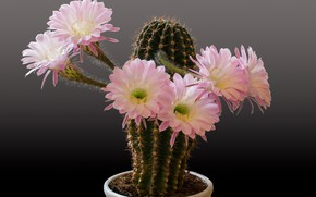 Picture cactus, barb, flowers