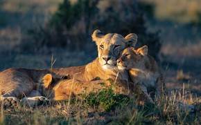 Picture light, nature, kids, lions, the cubs, lioness, mom