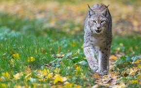 Picture autumn, foliage, walk, lynx