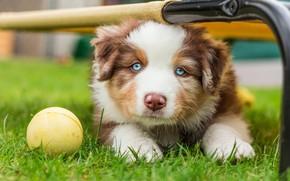 Picture grass, portrait, dog, pipe, muzzle, puppy, lies, the ball, blue-eyed, Australian shepherd, Australian, Aussie, Australian