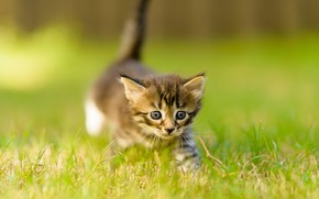 Picture cat, summer, grass, look, nature, pose, kitty, grey, background, lawn, legs, blur, small, baby, muzzle, …