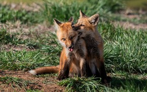 Picture grass, light, the game, pair, Fox, kids, a couple, two, Fox, Fox, cubs, two Fox