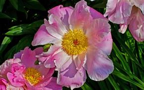 Picture macro, petals, pink, Peonies