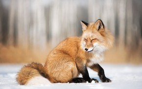 Picture winter, snow, nature, animal, Fox, Fox, Iza Łysoń