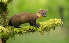 Picture look, moss, branch, green background, marten