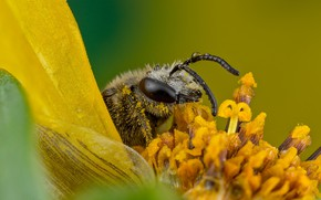 Picture flower, look, drops, macro, yellow, green, bee, background, pollen, petals, stamens, insect