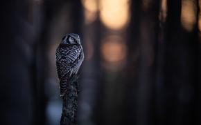 Picture forest, light, nature, the dark background, owl, bird, stump, blur, post, bitches, bokeh, blurred background, …