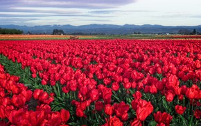 Picture field, flowers, spring, tulips, red, a lot, plantation, Tulip