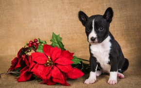 Picture flower, look, leaves, branches, red, pose, berries, holiday, black and white, dog, baby, Christmas, puppy, …