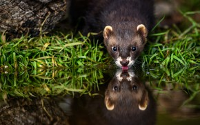 Picture language, grass, water, reflection, thirst, shore, drink, pond, ferret, ferret, lapping, drinking water