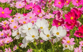 Picture field, summer, flowers, colorful, meadow, summer, pink, white, white, field, pink, flowers, cosmos, meadow
