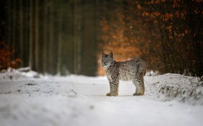 Picture winter, forest, snow, nature, animal, predator, lynx