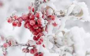 Picture winter, frost, snow, berries, Rowan