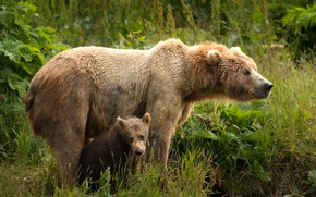 Wallpaper greens, summer, grass, look, leaves, nature, pose, baby, bear, pair, bear, a couple, two, muzzle, ...