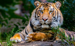 Picture look, face, leaves, tiger, background, stay, portrait, paws, lies, handsome