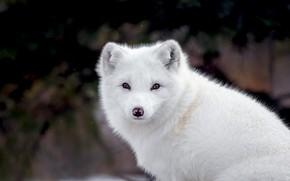 Picture white, look, face, the dark background, portrait, Fox