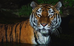 Wallpaper mustache, look, face, water, light, night, tiger, darkness, the dark background, portrait, bathing, wild cat, ...