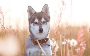 Picture grass, look, face, portrait, dog, collar, Husky