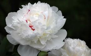 Picture flowers, peony, white peony
