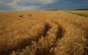 Picture road, rye, track, ears, cereals, rye field