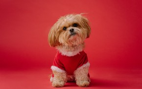 Picture dog, Christmas, costume, New year, lapdog, red background