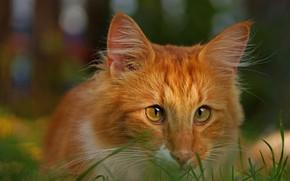 Picture cat, cat, look, portrait, red