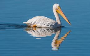 Picture water, photo, bird, Pelican