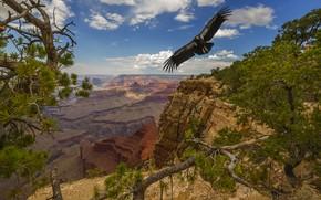 Picture trees, landscape, nature, bird, USA, The Grand Canyon, national Park, Grand Canyon, National Park, Condor