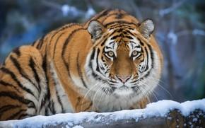 Picture winter, look, face, snow, nature, tiger, portrait, log, bokeh