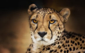 Picture eyes, look, face, background, portrait, Cheetah, wild cat